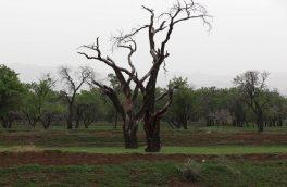درختان باغستان استان قزوین در معرض انقراض قرار دارند